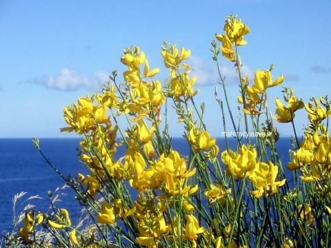 ventotene fiori
