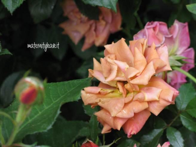 flor 13 torino rosa antico