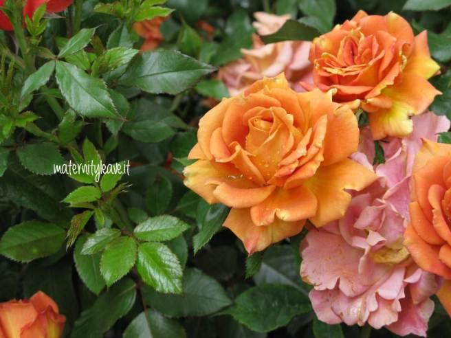 flor 13 torino rose