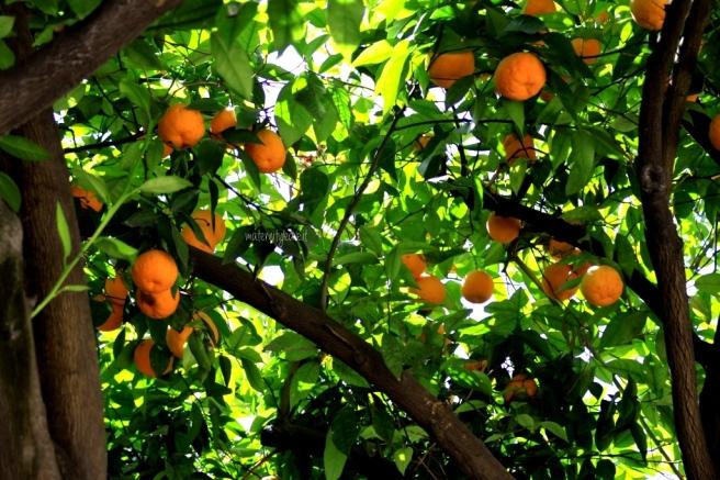 albero di arancie